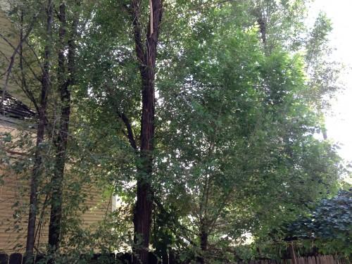 sideyard weed trees 3