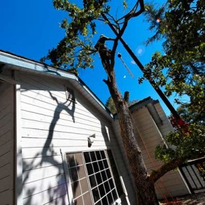 Dangerous Tree Removal - Foothills Tree Experts (970) 482-9488