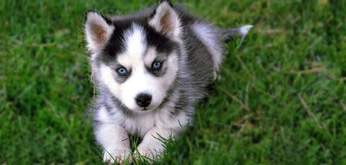 Dogs with Blue Eyes Puppies