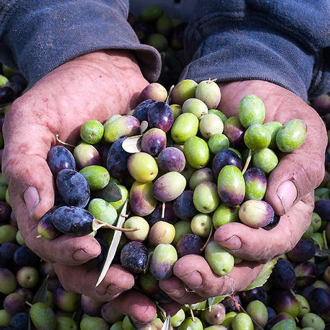 Olio Nuovo is New Harvest First-Press Olive Oil from Frog Hollow Farm