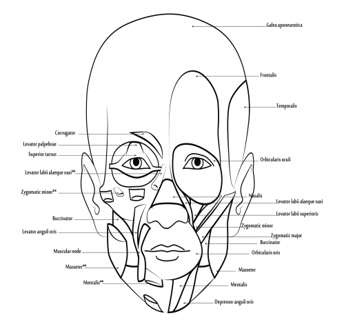 - Human Body Anatomy Coloring Book Visual Aid Muscular System Report Launched  «
