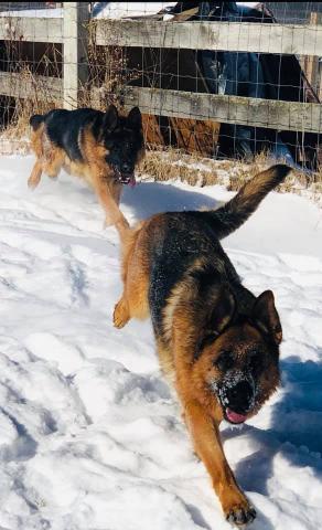 Pa Purebred West German Showline Working Line Shepherd Puppies